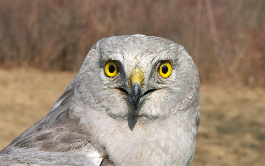 Featured Species: Northern Harrier