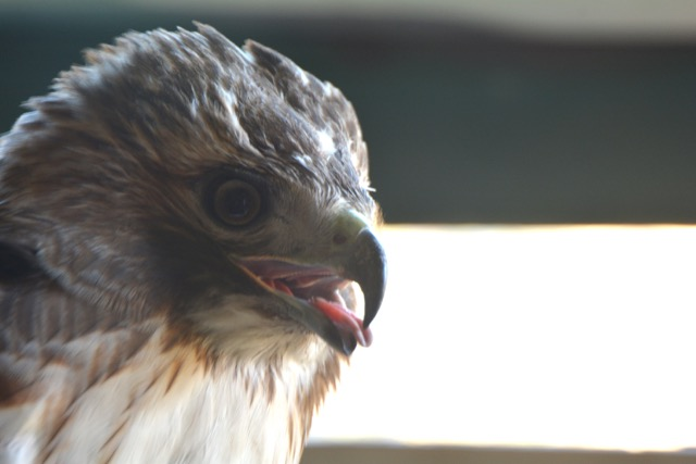 Raptor Banding Update – Careful What You Wish For!