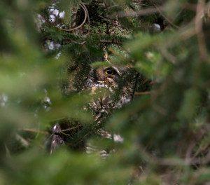 Peek-a-boo Great Horned Owl, by Z. Shamma
