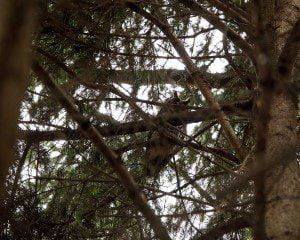 Lurking Long-eared Owl, by Z. Shamma