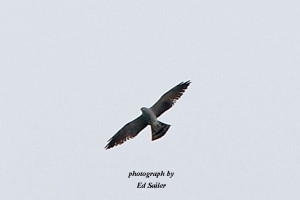 Mississippi Kite from May 25, 2016