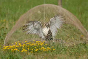 Red-tailed Hawk being captured for banding.