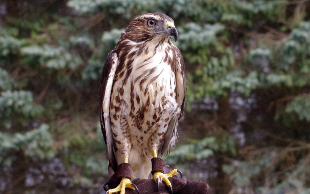 New Feathered Ambassador for BBRR