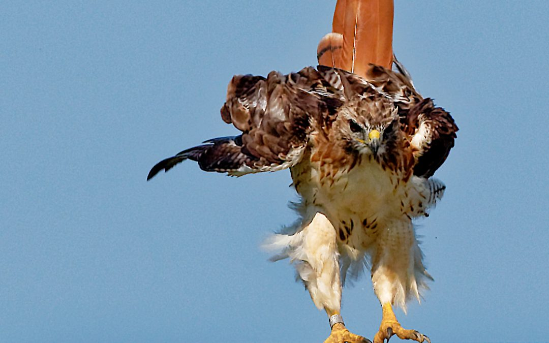 Featured Species: Red-tailed Hawk